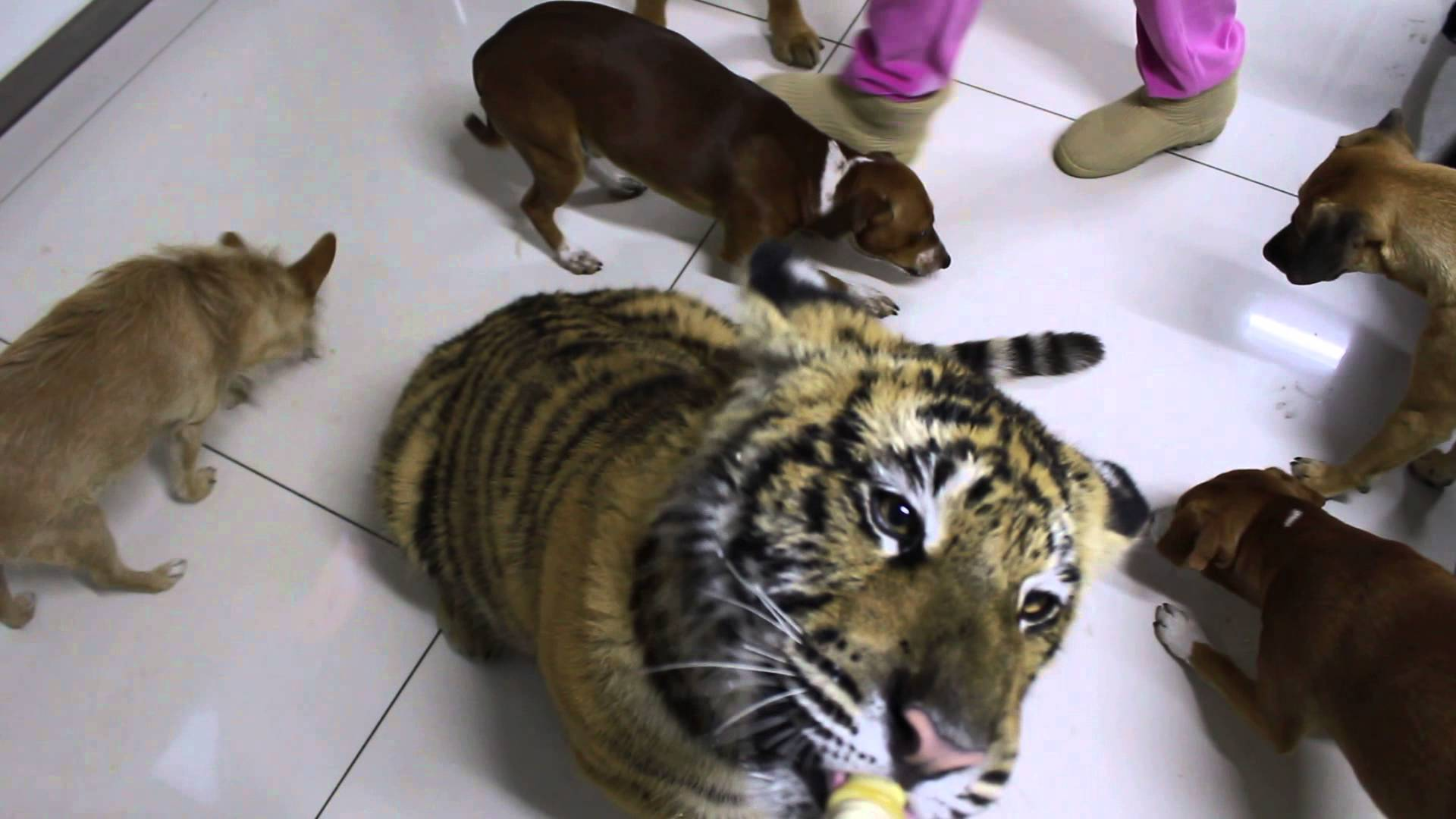 Dogs and a tiger eating cookies and drinking milk