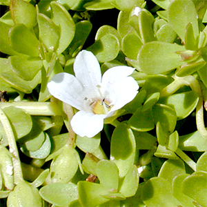 Bacopa monnieri leafs and flower