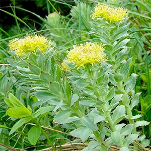 Leafs of Rhodiola Rosea herb