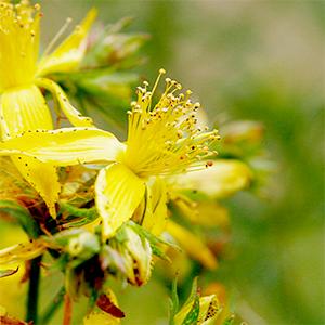 St-Johns-Wort-Flower