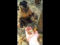 Monkey teaching a human how to crush leaves