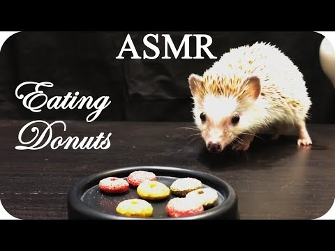 ASMR Hedgehog eating, drinking and very close-up