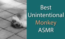 Sleeping monkey next to text that says best unintentional monkey asmr videos