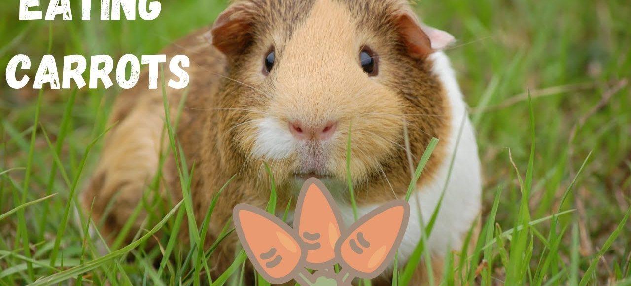 Guinea Pigs Eating Carrots – ASMR