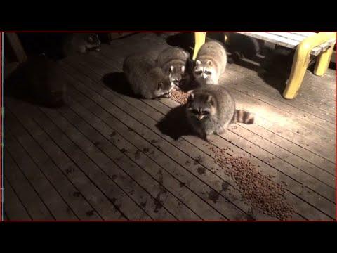 Cute Raccoons Munching on Dog Food